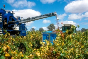 Aussie grape harvest